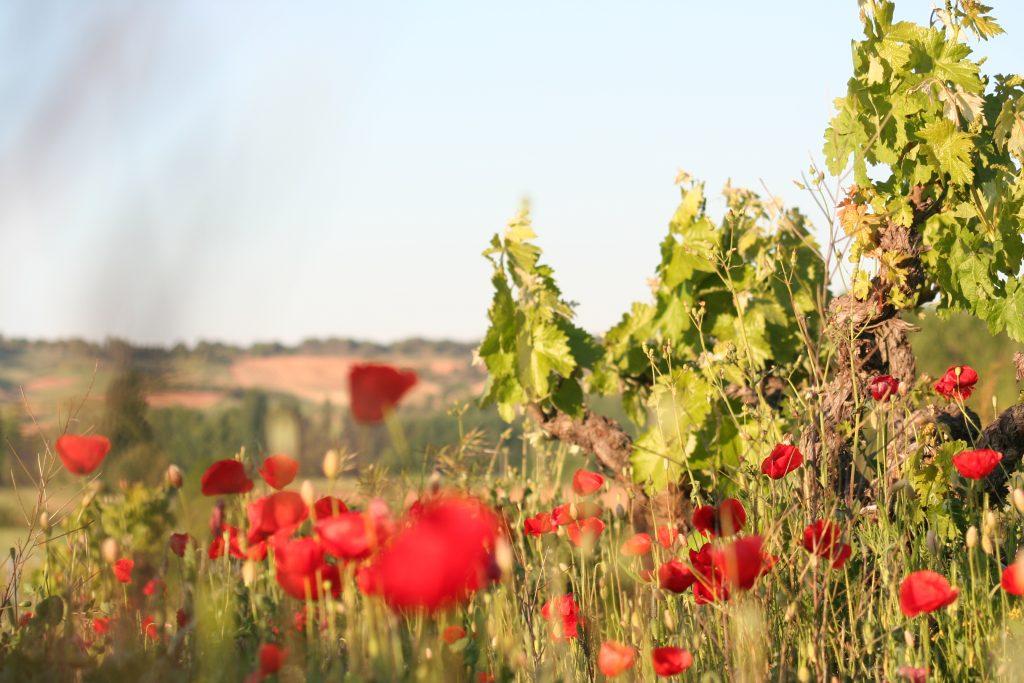 Cubiertas vegetales entre viñedos