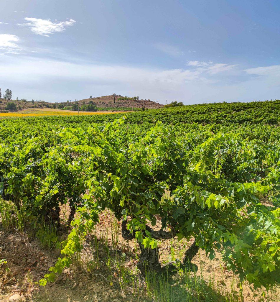 pre-phylloxera vineyard La Tejera